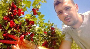 Plantație Coacăze Roșii Agrij